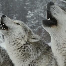 El día que R. bailó con lobos